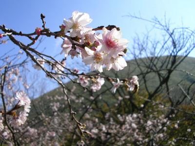 十月桜アップ2