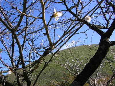 三波川冬桜