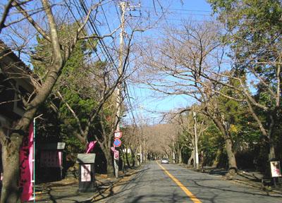 1205桜並木