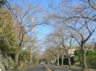 桜並木1205