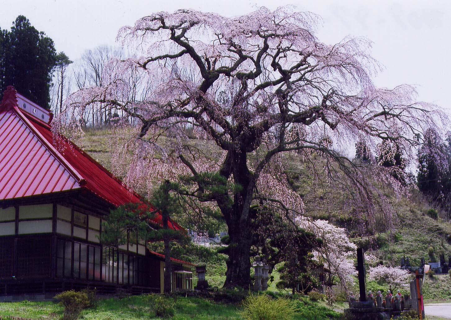 松岳寺の桜.jpg