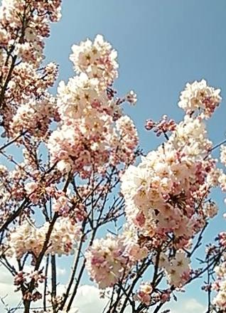 20150323 春めき開花