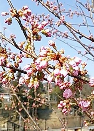 20150321 春めき咲はじめ
