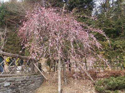 熱海の桜1
