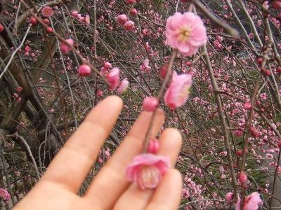熱海の桜2