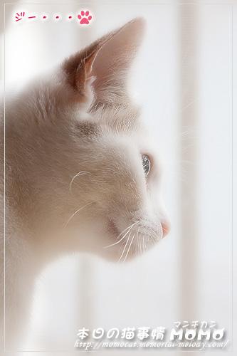 猫 ネコ マンチカンももちゃん0723