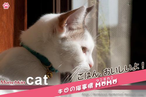 猫 ネコ neko マンチカンももちゃん1130
