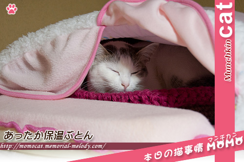 猫のベッド からだ保温ぶとんで寝るももちゃん マンチカンももちゃん1222