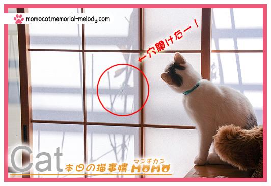 猫 ネコ マンチカン 猫マンチカンももちゃん0120