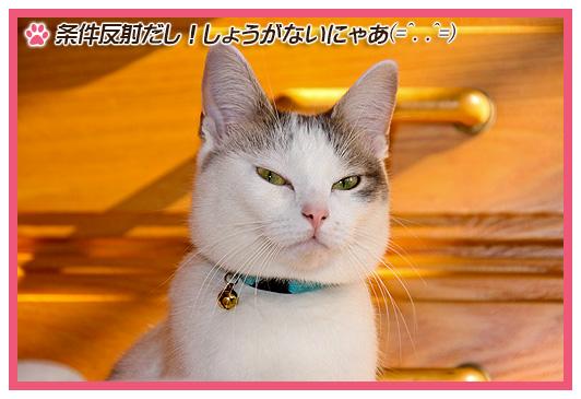 猫 ネコ マンチカン 猫マンチカンももちゃん01202