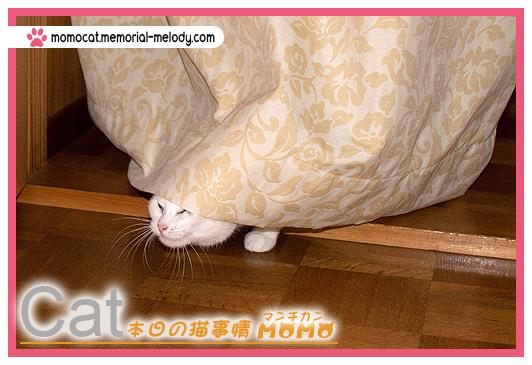 ネコ 猫マンチカンももちゃん0123