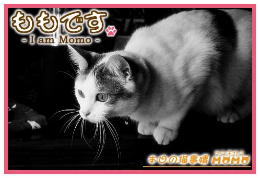 猫マンチカンももちゃん0329