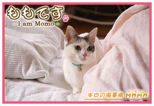 猫マンチカンももちゃん0331
