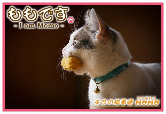 猫マンチカンももちゃん0401