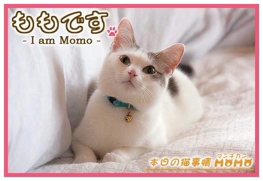 猫マンチカンももちゃん0404