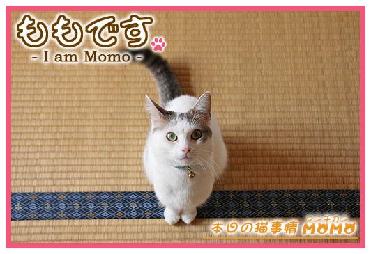 猫 足長マンチカン ももちゃん0409