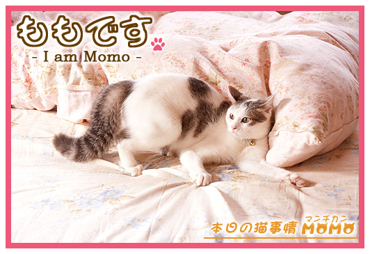 猫マンチカンももちゃん0416