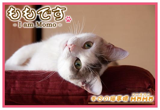 猫マンチカンももちゃん0429