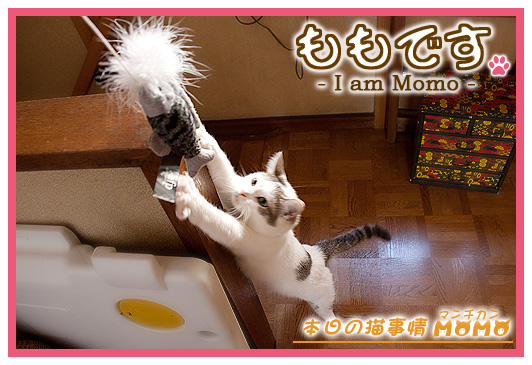 猫マンチカンももちゃん0509
