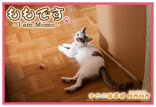猫マンチカンももちゃん0512