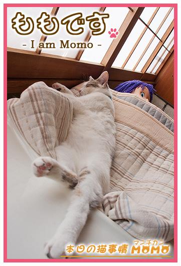 猫マンチカンももちゃん0518