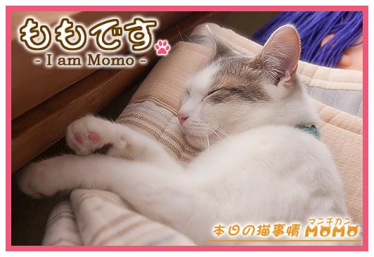 猫マンチカンももちゃん05182