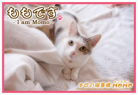猫マンチカンももちゃん0524