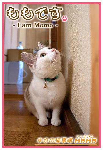 猫マンチカンももちゃん0525