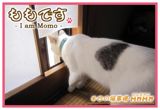 猫マンチカンももちゃん0531