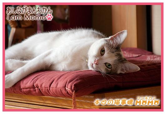 猫寝 足長マンチカン ももちゃん