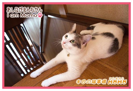 猫,マンチカンももちゃん,0909
