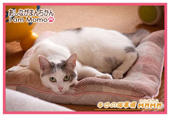 猫,足長マンチカン,ももちゃん 0912