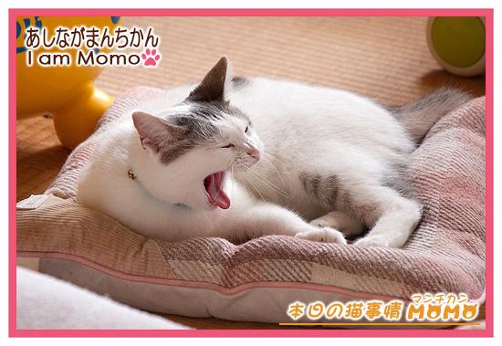 猫,マンチカン,ももちゃん 09122