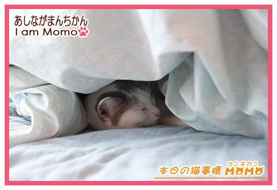 隠れ猫 足長マンチカン