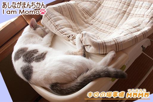 猫 マンチカン 毛色