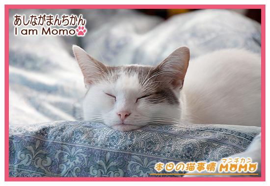 あご枕,猫,マンチカンももちゃん