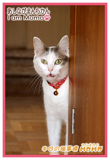 足長マンチカン,猫写真,びっくり顔?