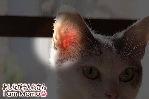 猫の耳,たぷたぷ,耳の形