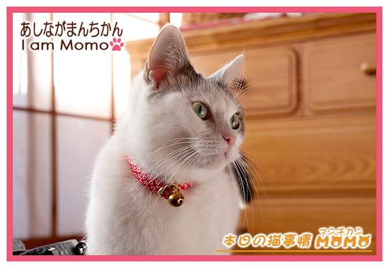猫,マンチカン,モコモコ,冬毛