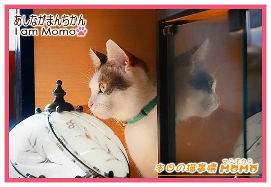 猫,マンチカン,ももちゃん,写真