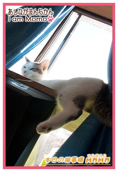 猫,足長マンチカン,日向ぼっこ