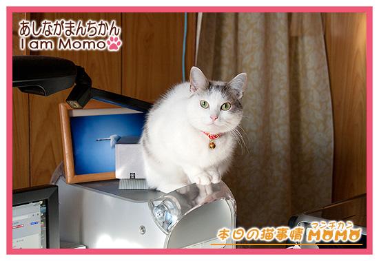 猫マンチカンももちゃん,パソコンの上