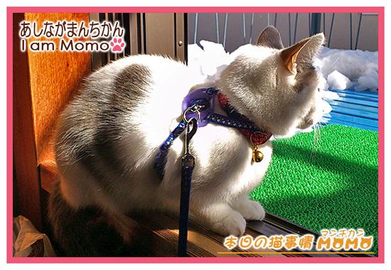 猫,マンチカンももちゃん,140210,雪