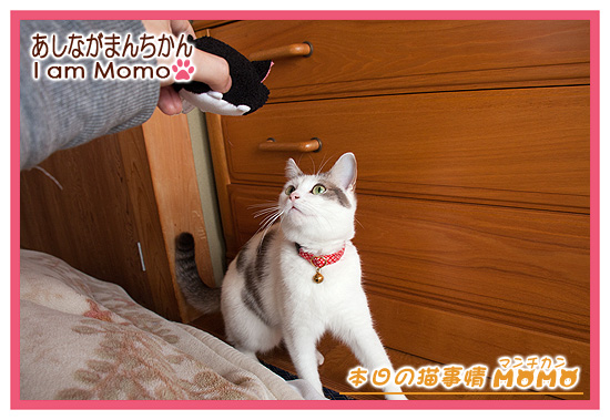 猫,マンチカン,足長,ももちゃん140319