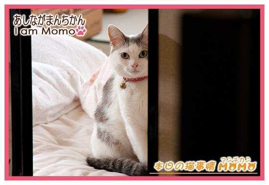 見つめる,猫マンチカンももちゃん140421
