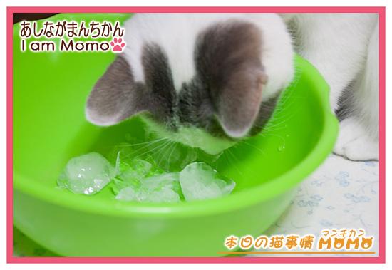 氷を舐める,猫マンチカンももちゃん1407041