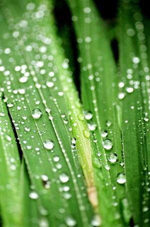 グラジオラスの葉に雨の滴