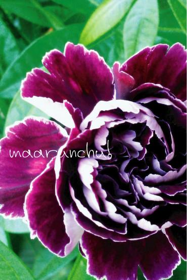 紫のカーネーション2