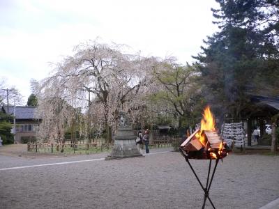 足羽神社の桜