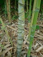 布袋竹(ほていちく)